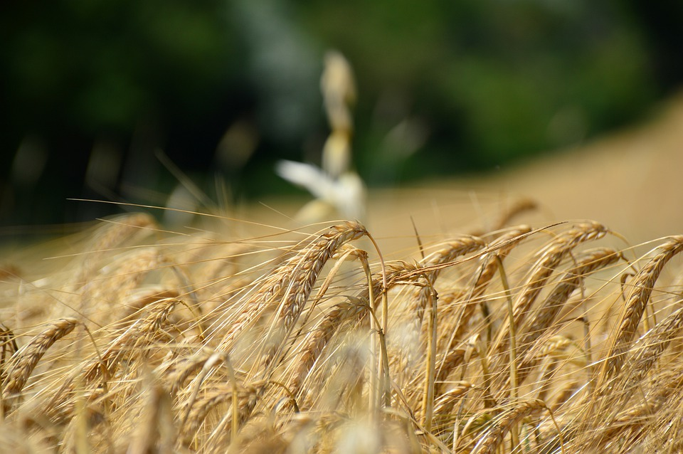 Soy and wheat proteins helpful for building aging muscles, but not as potent as animal protein